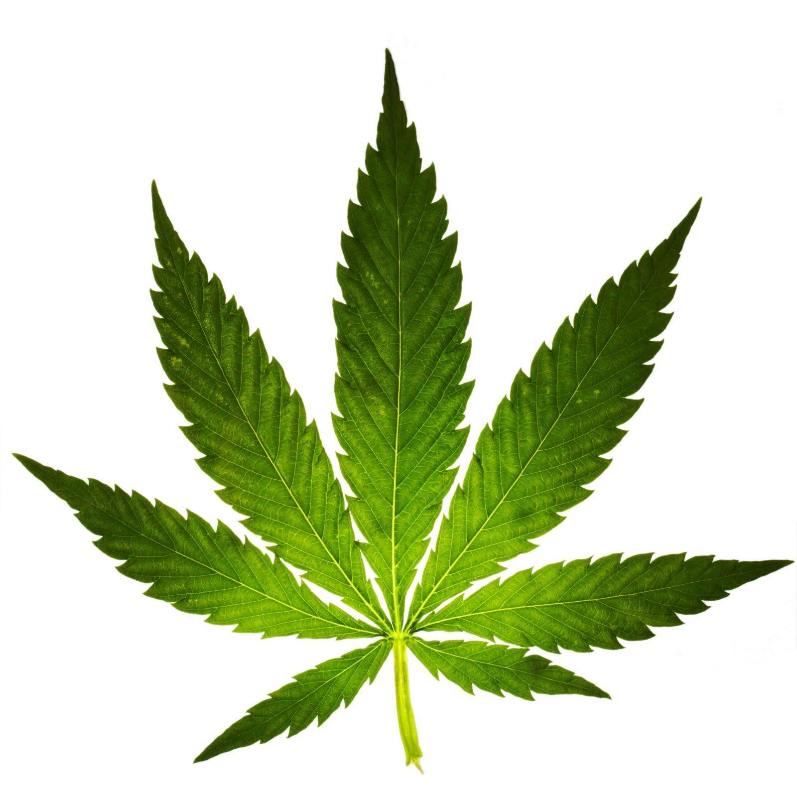 Polícia Judiciária anda atrás de plantações de Cannabis em Portugal